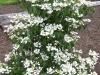 Viburnum plicatum 'Nanum Semperflorens'