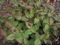 Hypericum androsaemum 'Albury Purple'