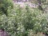 Cornus stolonifera 'Flaviramea'