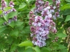 Syringa vulgaris Rose