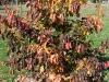 Parrotia persica