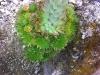 Orostachys spinosa 'Minor'
