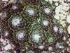 Sempervivum arachnoideum 'Bupulum'