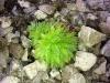Sempervivum arachnoideum 'Cristatum'