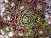 Sempervivum arachnoideum 'Webbianum'