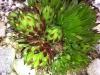 Sempervivum arenarium