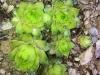 Sempervivum calcareum 'Limelight'