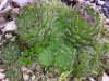 Sempervivum ciliosum var. borisii