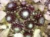 Sempervivum 'Color Spectacle'