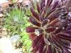 Sempervivum 'Sprite'