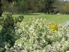 Glechoma hederacea 'Variegata'