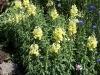 Antirrhinum majus 'Ribbon jaune' F1