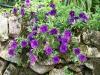 Calibrachoa 'Callie bleu'