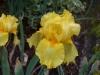 Iris 'Aztec Sun'