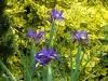 Iris 'Bleu Magic'
