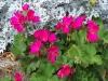 Pelargonium 'Coral Spice' F1