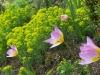 Tulipa 'Lilac Wonder'