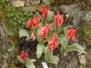 Tulipa 'Rosanna'