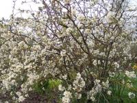 Chaenomeles japonica blanc