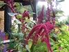 Amaranthus 'Red Cathedral Superior'