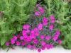 Dianthus 'Warden Hybrid'