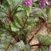 Beta vulgaris ssp cicla 'MacGregor's Favourite'
