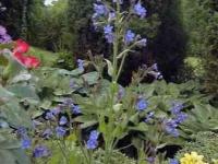 Anchusa azurea 'Dropmore'