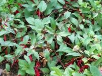 Fuchsia 'Jean-Pierre Quillot'