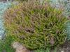 Calluna vulgaris 'Wickwar Flame'