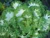 Brassica oleracea var. acephala 'Nagoya White'