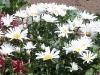 Leucanthemum superbum 'Etoile d'Anvers'