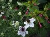 Nigella damascena 'African Bride'