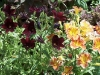 Salpiglossis 'Royal'