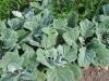 Salvia argentea 'Artemis'