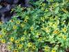 Sanvitalia procumbens 'Jaune d'or'