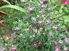 Dianthus 'Chianti'