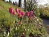 Tulipa 'Renown'