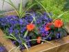 Lobelia erinus 'Techno Blue'