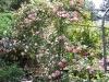 roseraie_tonnelle04
