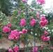 Centenaire de Lourdes rose