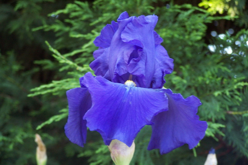 Iris 'Jean Hoffmaster'