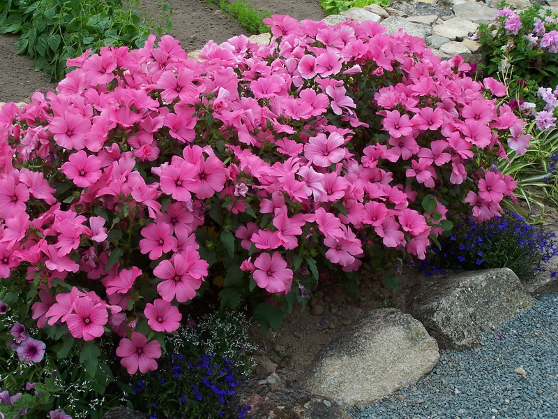 Lavatera trimestris 'Hot Pink'