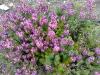 Erica x darleyensis 'Spring Surprise'