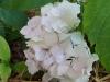 Hydrangea macrophylla 'Mathilda Gutges'