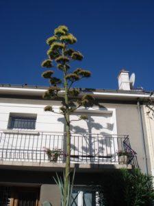 Hampe florale de l'agave