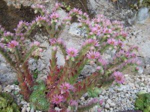 Sempervivum en fleur