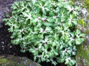 Geranium phaeum 'Springtime'