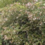 Abelia grandiflora 'Lucky Lots'