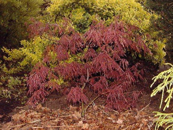 les jardins du gu acer palmatum 39 garnet 39 encyclop die. Black Bedroom Furniture Sets. Home Design Ideas