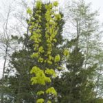 Acer platanoides 'Princeston Gold'